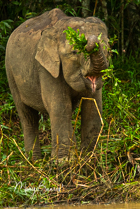 Saving the Pygmy Elephant