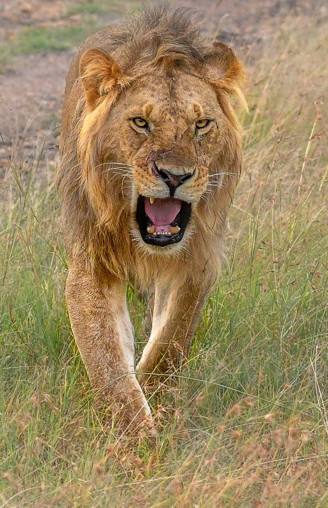 lionopenmouth